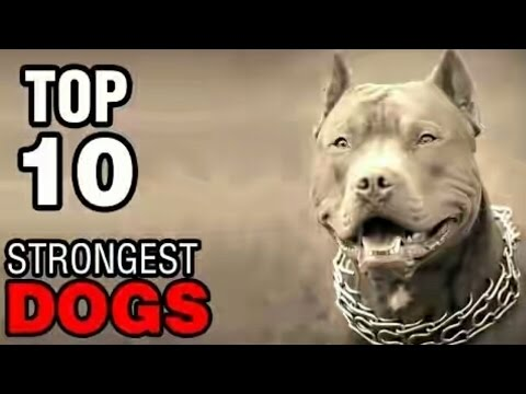 Top 10 Strongest Dogs In The World In HD