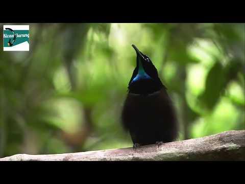 Burung Cendrawasih Dada Biru Suara Keras !!