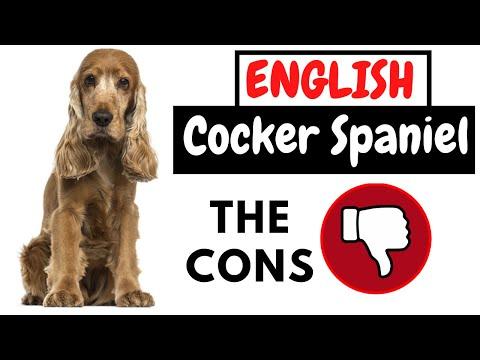 English Cocker Spaniel  The Cons