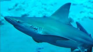 Facts: The Sandbar Shark