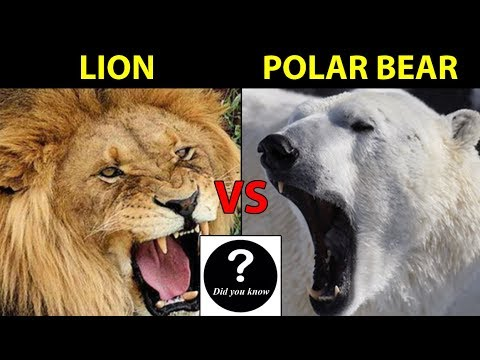 African Lion Vs Polar Bear, Who Would Win? || Did You Know?