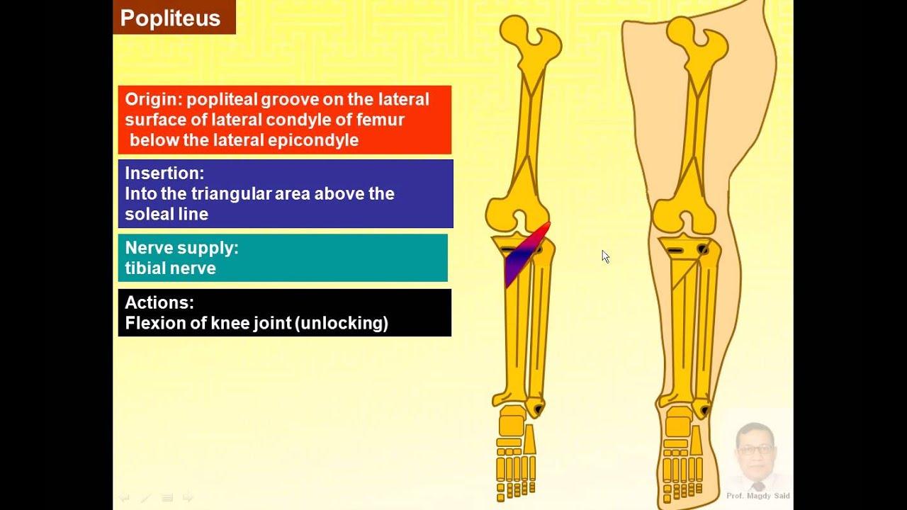 Magdy Said anatomy series,lower limb,popliteal fossa,popliteal ...