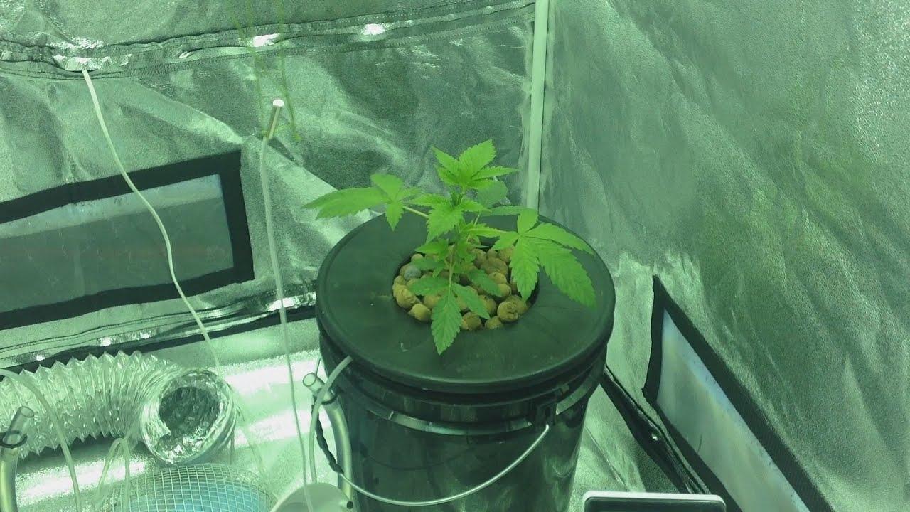 cultivo hidropnico de um grande amigo strains bianca e medijuana estagio vegetativo youtube