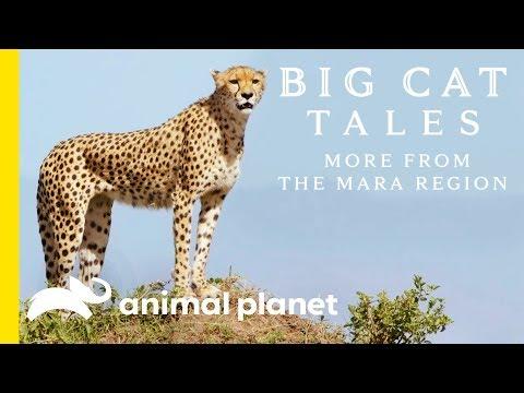 The Cheetah | Big Cat Tales: More from the Mara Region