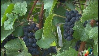 Rrushi ndihmon në parandalimin e këtyre dy sëmundjeve !