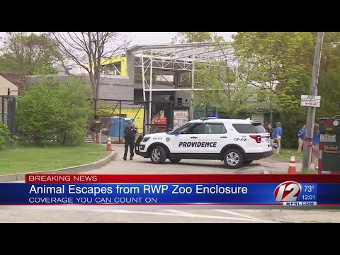 Escaped Takin Returned to Pen at Roger Williams Park Zoo