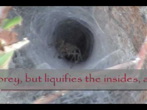 Grass (Funnel Web) Spider of Alberta