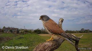 QUB Conservation: Conserving Kestrels