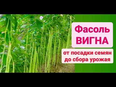Вопрос: Как вырастить бобы и собрать хороший урожай?