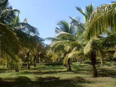 COCONUT PLANTATION INVESTMENT