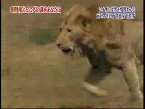 Male Lion kill cubs