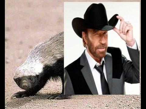 Chuck Norris vs Honey Badger  YouTube