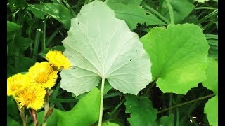 Всегда думал что этот цветок сорняк: полезные свойства мать и мачехи
