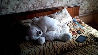 Кот Ёба топчет медведя