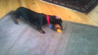 Wiki the Wonder Dog vs The Christmas Orange