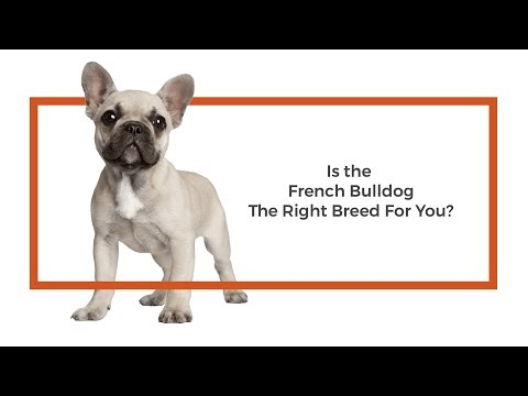 Is the French Bulldog the right breed for me?