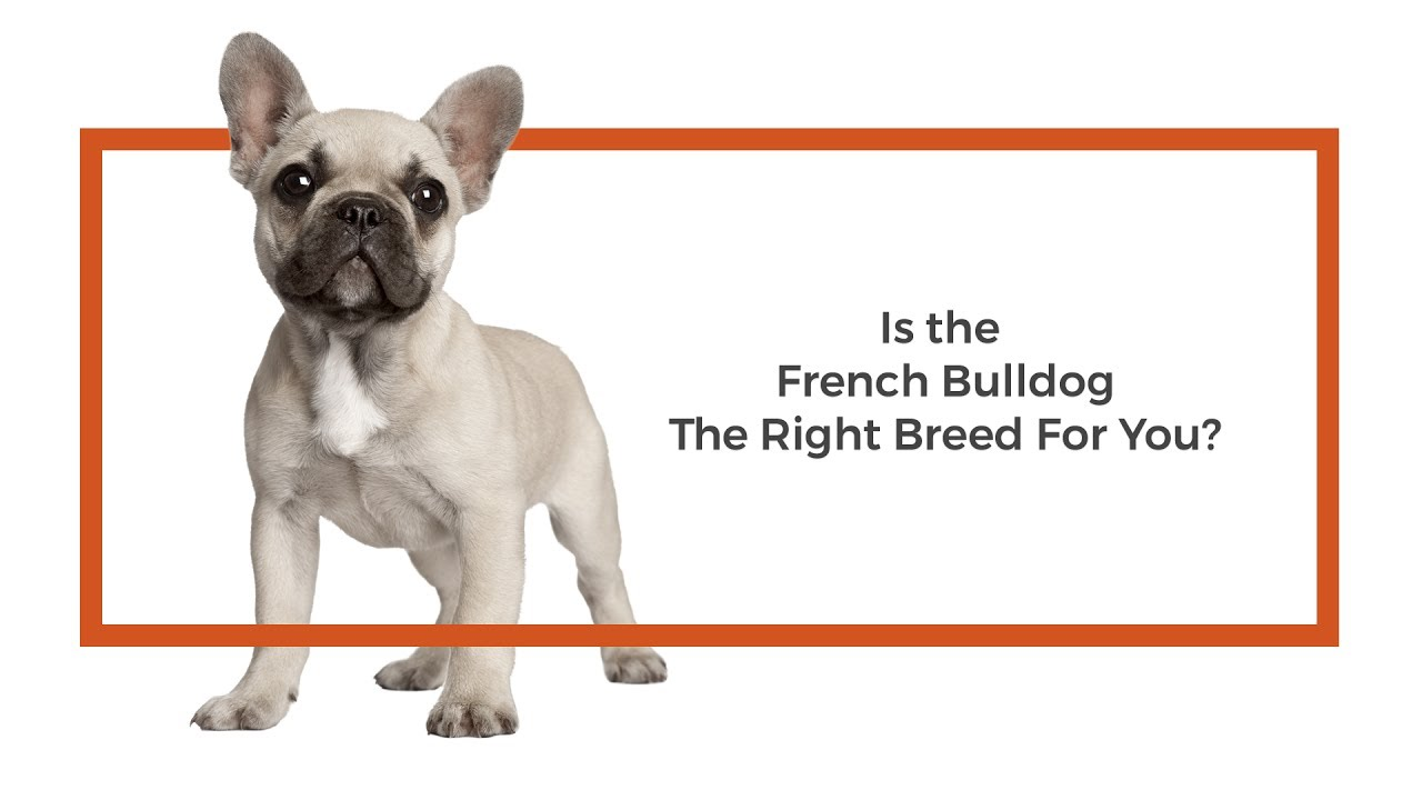 Learn all about the French Bulldog and why they could be your perfect pet!