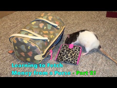 Learning to Fetch Money from a Purse - Part 2! (Berry the Ratrobber)