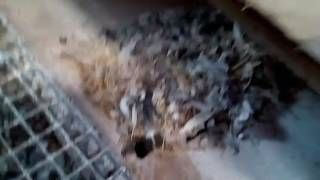 Gołębie Pocztowe w Anglii. Sezon 2017