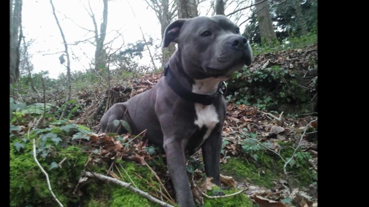 Staffordshire Bull Terrier Bleu Forest Game Requiem For Dream