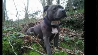 Staffordshire Bull Terrier Bleu - Forest Game - Requiem For Dream - Amstaff Origine