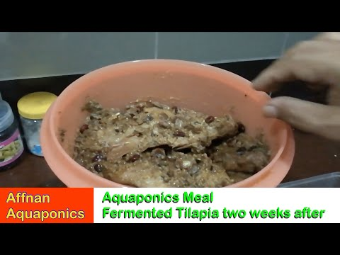 Affnan's Aquaponics - Fermented Tilapia After Two Weeks