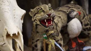 A Look Inside America's Largest Collection of Stuffed Endangered Animals