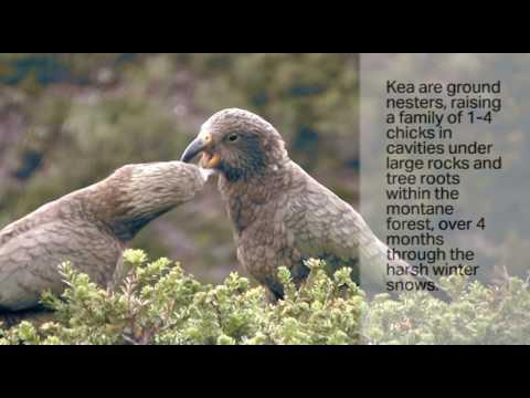 Kea - Nestor notabilis