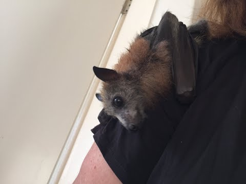baby-flying-foxes-in-minicreche:-galileo-and-fandango