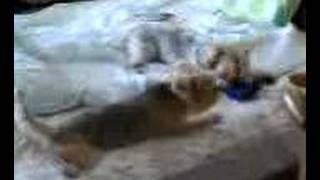 お兄犬ヨークシャテリアが横取りした 末っ子犬のおもちゃ。いくら訴えて...