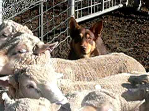 Working Kelpies Midgbar Rex 3 Barclays Tim sheep scanning in the yards