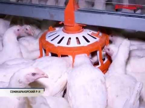 Производство инкубационного яйца бройлера