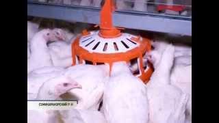 Производство инкубационного яйца бройлера(, 2015-11-10T08:36:19.000Z)