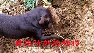 農村小伙養了2年的狗,會坐車會挖竹筍,這狗我也想要 【石頭秀】