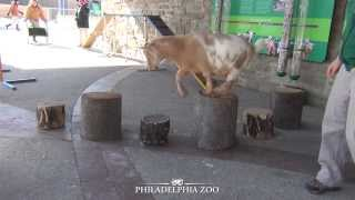 Goat Agility Training