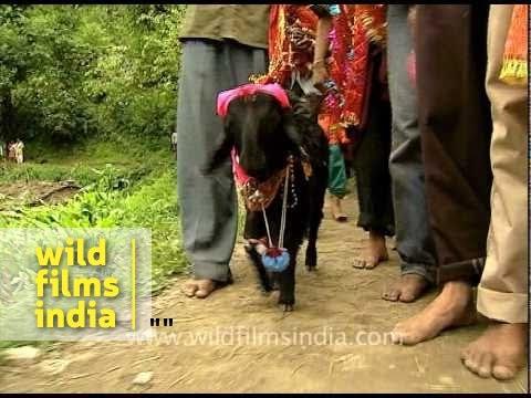 Following the four horned goat! Nanda Devi Raj Jat Yatra