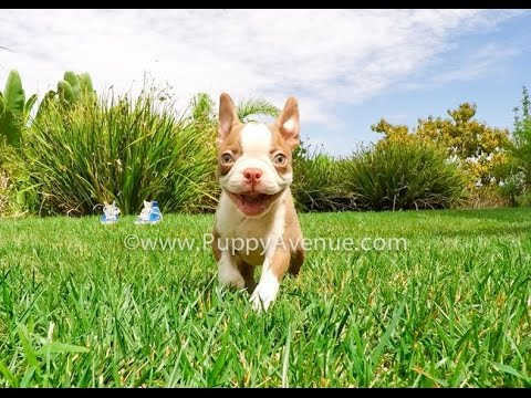 boston terrier san diego phoenix the perfect red boston terrier male puppy for sale 462