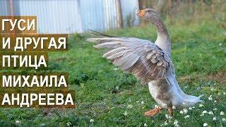БОЙЦОВЫЕ ГУСИ, УТКИ, ОРЛОВСКИЕ КУРЫ. Птицевод Михаил Андреев