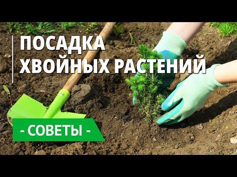 Вопрос: Какая почва больше всего подходит для посадки хвойного дерева туи?
