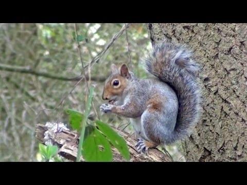 Gray Squirrel ***