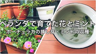 【ベランダの植物】挿し芽で花を増やす・ミントを収穫して生活に取り入れる