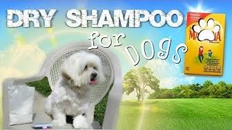 Dry Shampoo for Dogs, How to use Cornstarch, Coton de tulear I Lorentix