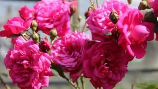 Мои любимые розы, фильм 3: розы Амадеус, Лагуна, Розанна