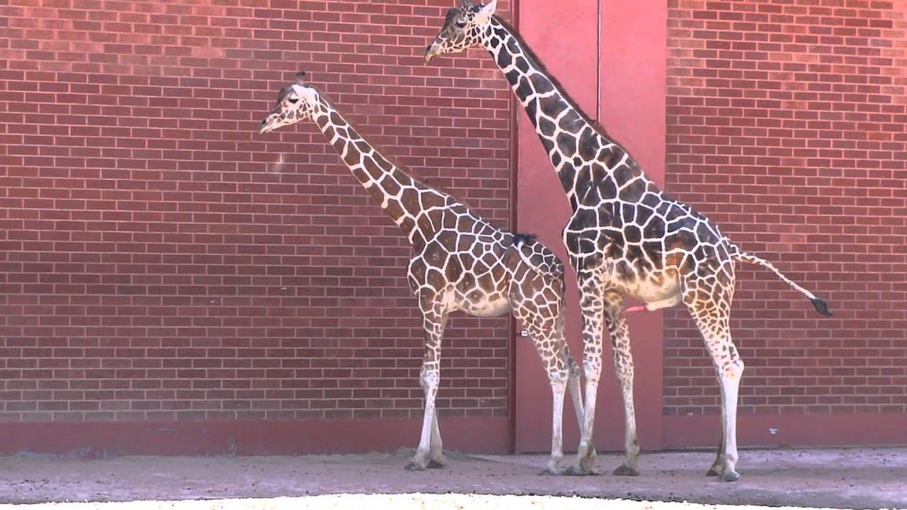 Giraffes Mating at the Zoo - YouTube  Giraffes Mating...