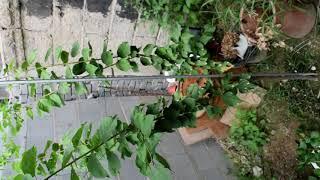 매화나무 키우기