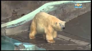 Свадьба белых медведей