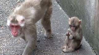 Mom is angry with the baby monkey bullied