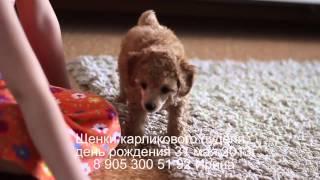 Щенки карликового пуделя декабрь 2017, милейшие создания. 8 905 300 51 92 Ирина