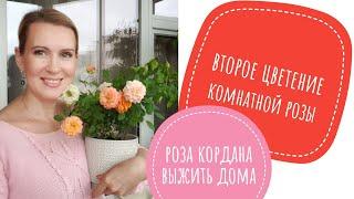 """видео: Как сохранить покупную горшечную розу. Роза Кордана. Выжить дома.."""""""