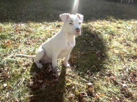 White American Pitbull Terrier 2011 Youtube